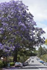 ジャコランタの花の写真